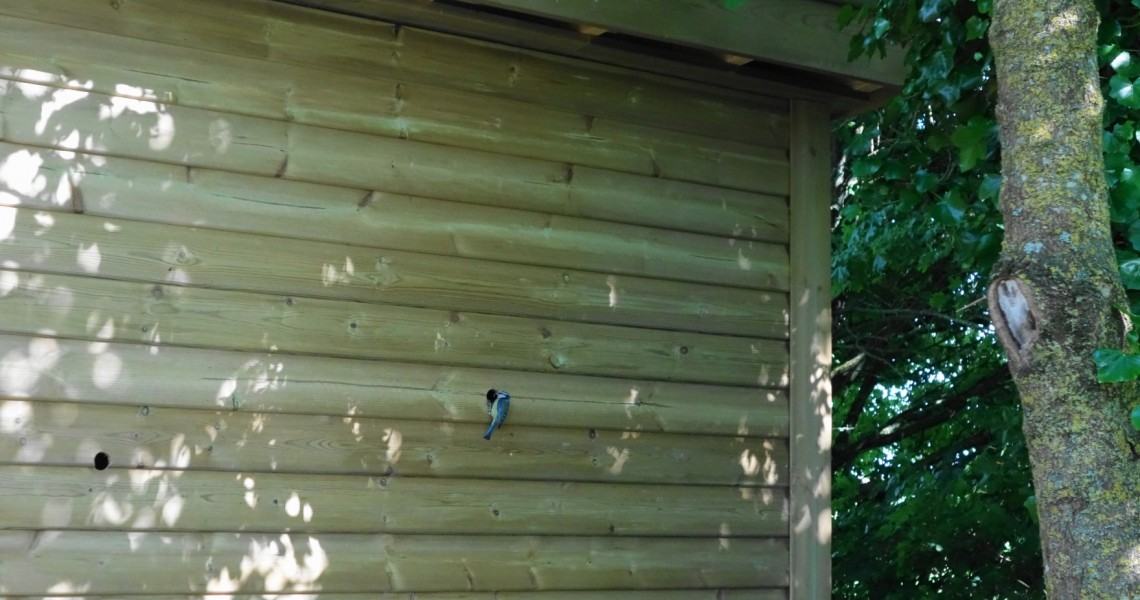 Blue Tits Nesting In A Bird Hide