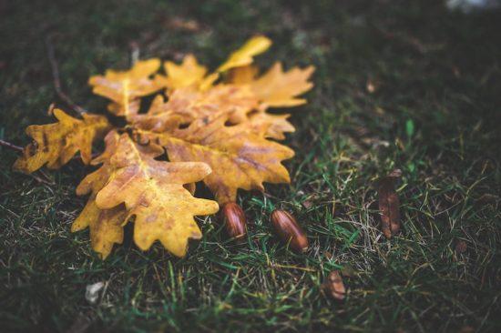 fallen acorns oak