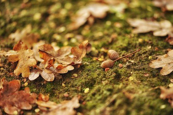mossy acorns oak