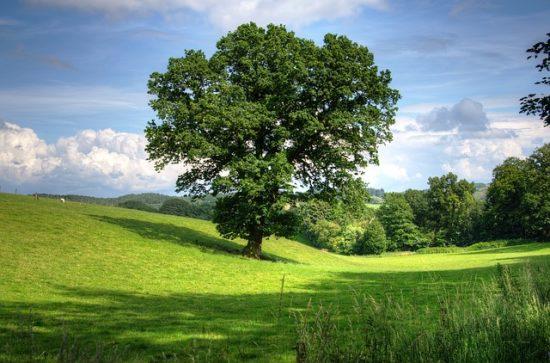 oak tree in field