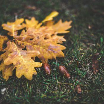 yellow oak leaf leaves autumn